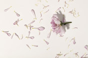 Flower and petals on white background