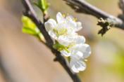 peach blossom flower, plum flower