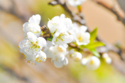 white peach blossom flower ,  plum flower