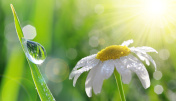 Dew drops on fresh green grass and daisy closeup.