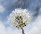 Closeup of a dandelion seed puff