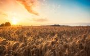 Magic sunrise with wheat field