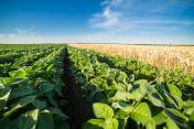 Close-up shot of green soybean field alongside of ripe wheat