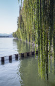 Branches of weeping willow growing on lake coast