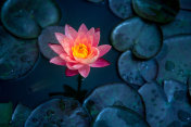 Close-up of blooming white,red and pink fancy waterlily or lotus flower with bees and flys inside of lotus.