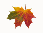 Red-green maple leaf on isolated background
