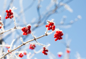 Close-up of Red Berries Covered in Snow