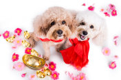 Two dogs in Chinese New Year festive setting white background