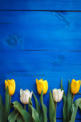 Row of tulips on blue wooden background with space for message. Women's or Mother's Day background. Top view