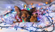Two Toy Terrier is a yellow New Year's dog.