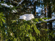 Branch of spruce tree with white snow