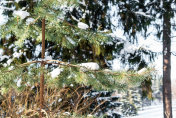 Branch of spruce covered with fluffy snow in a winter coniferous forest