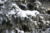 snow on the branch of the fur tree