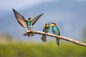 Bee-eater (Merops apiaster) - Bird Male fight for Female