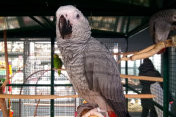 Grey Parrot in its cage