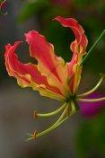 Gloriosa/Flame lily/Climbing lily/Glory lily