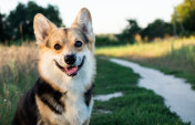 A happy and active thoroughbred Welsh Corgi dog outdoors by the road on a sunny day.
