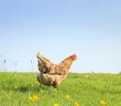 Free Range Hen in Spring