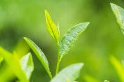 tea leaves close-up