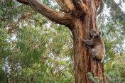 Wild koala in Adelaide Hills