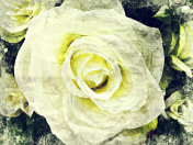 Abstract beautiful white rose flower blooming on oil painting background, Digital picture convert to art.