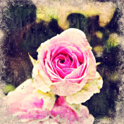 Abstract beautiful pink rose flower blooming on oil painting background, Digital picture convert to art.