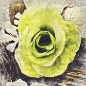 Abstract beautiful green rose flower blooming on oil painting background, Digital picture convert to art.