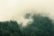 Foggy Tree Tops in Olympic National Park