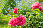 flowers of a blue forget me not, pink roses have flowering in a garden on flower bed