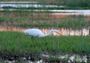 egret stalking at sunset