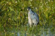 White-necked heron , Argentina