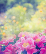 Beautiful pink peony on flowers garden background, close up, toned