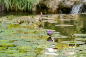 Water lilies in a pond, a public park.