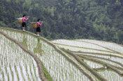 Yao Women Working at Rice Paddy