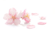 Japanese cherry blossom and petals