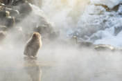 Snow monkey Macaque in hot spring