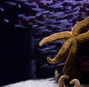 Starfish with fish