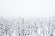 Snow covered forest in heavy fog