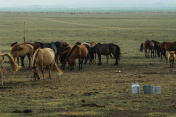 mare milk in the desert of mongolia