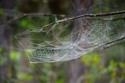 Dew covered spiderweb in forest