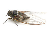 Small cicada on a white background