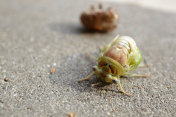cicada exiting shell
