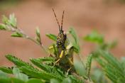 Locust Macro