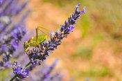 A locust on a lavender flower.