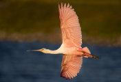 Spoonbill Flight, Evening Light