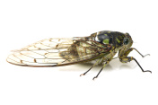 small cicada,