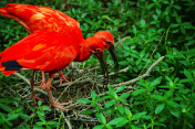 American Red Ibis