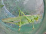 Locust insect in jar closeup
