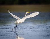 Great white egret taking flight in Florida