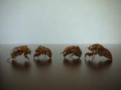 Cicada shells, cicadidae.